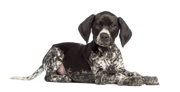 German shorthaired pointer 10 weeks old lying against white picture id824260726?b=1&k=6&m=824260726&s=612x612&w=0&h=2ux7o2tjjegssuhongom6miwjb4oaw5smtxpsf ih5a=