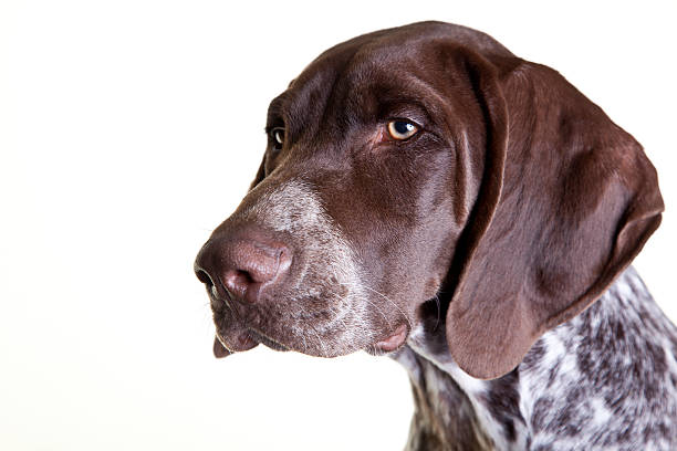 German shorthaired pointer closeup isolated on white stock photo