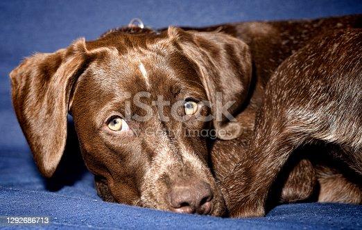 German Shorthaired Pointer - Kurzhaar puppy dog isolated on blue studio background