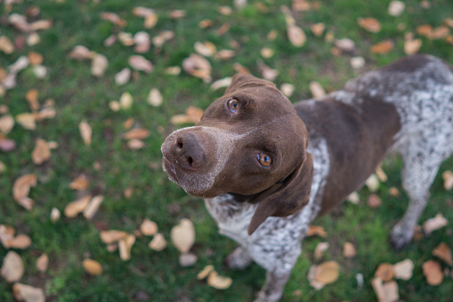 German Shorthaired Pointer on the grass