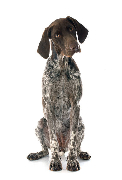 Shorthaired Pointer alemán - foto de stock