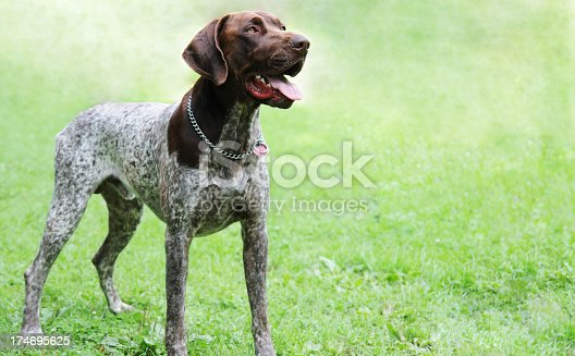 German short-haired pointer standing on grass and looking away.