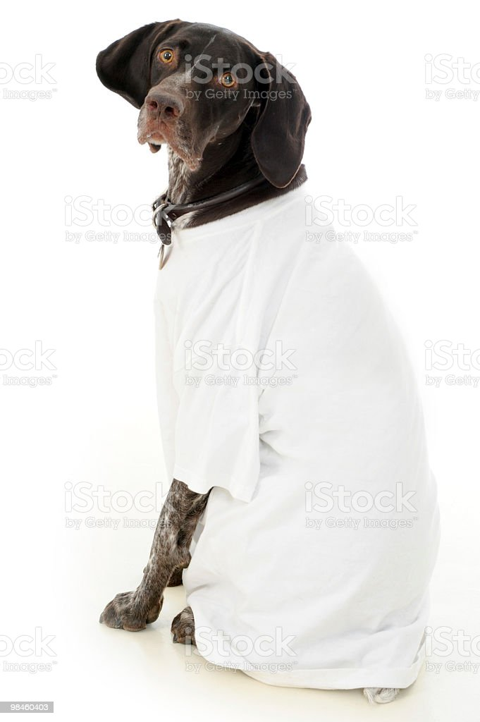 German Short-Haired Pointer Wearing T-Shirt royalty-free stock photo
