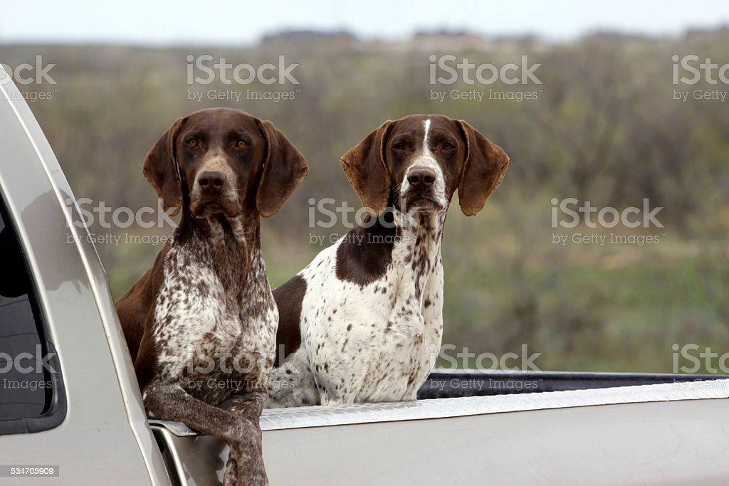 Image of: Dog Breeds German Shorthaired Pointers Hunting Bird Dogs In Pickup Brown Liver Royaltyfree Stock The Pointing Dog Journal German Shorthaired Pointers Hunting Bird Dogs In Pickup Brown Liver