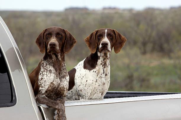 Image result for Deutscher kurzhaariger Hund, im Auto