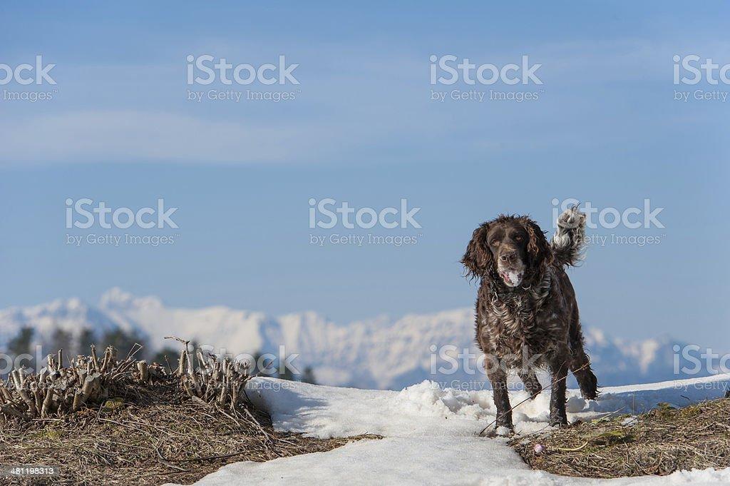 German spaniel stock photo
