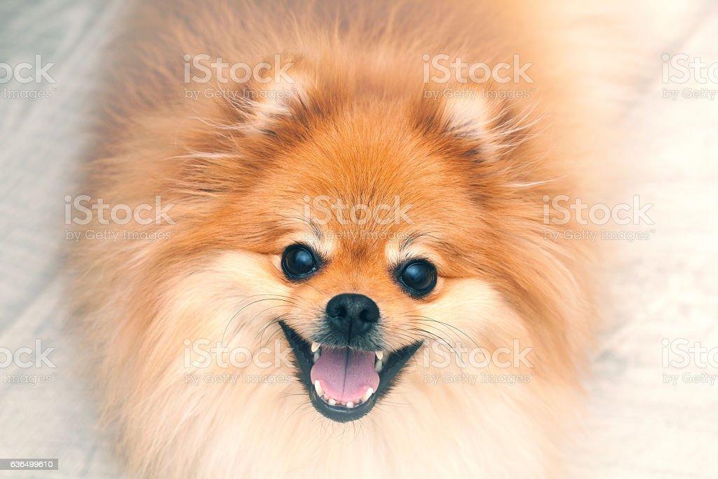 German Spitz dog stock photo