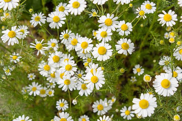 german tea chamomila (chamomilla recutita) flowers on meadow - planta de manzanilla fotografías e imágenes de stock