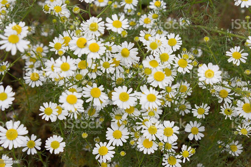 German tea chamomila (Chamomilla recutita) flowers on meadow stock photo