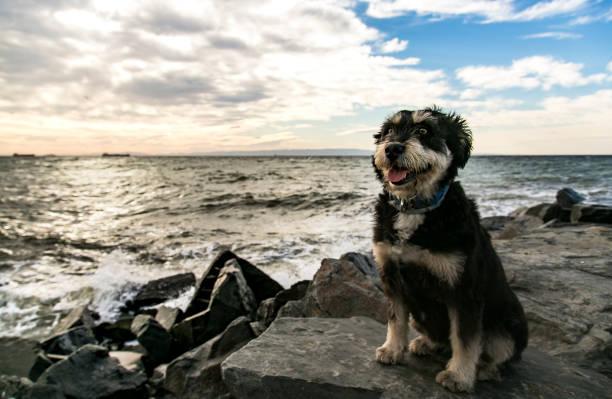 German Terrier Dog – zdjęcie