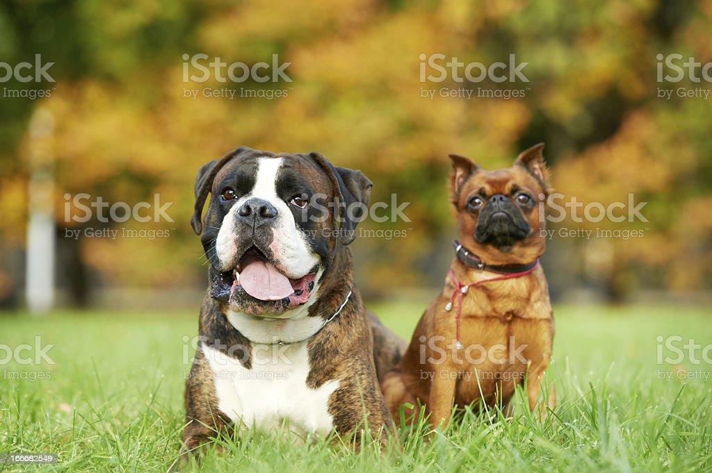 Deutscher Tiger Boxer Hund Und Petit Brabancon Griffon Stockfoto Und