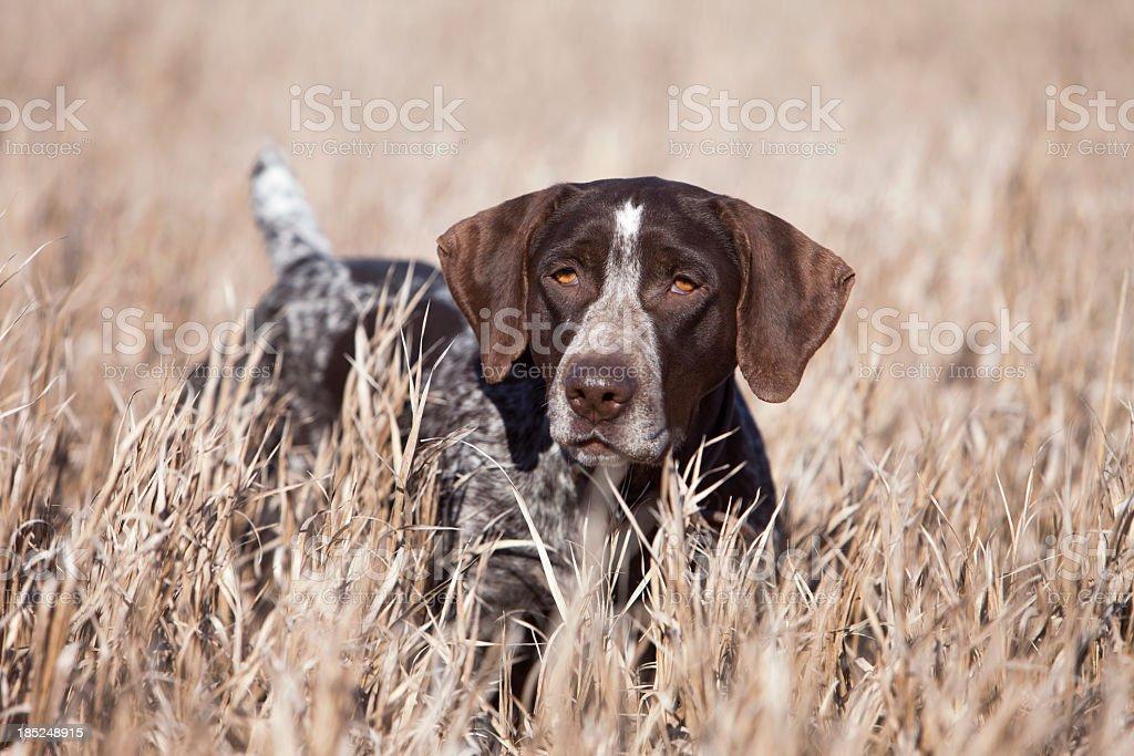 Pointer alemán Wirehair Upland caza de pájaros en la región central de Estados Unidos. - foto de stock