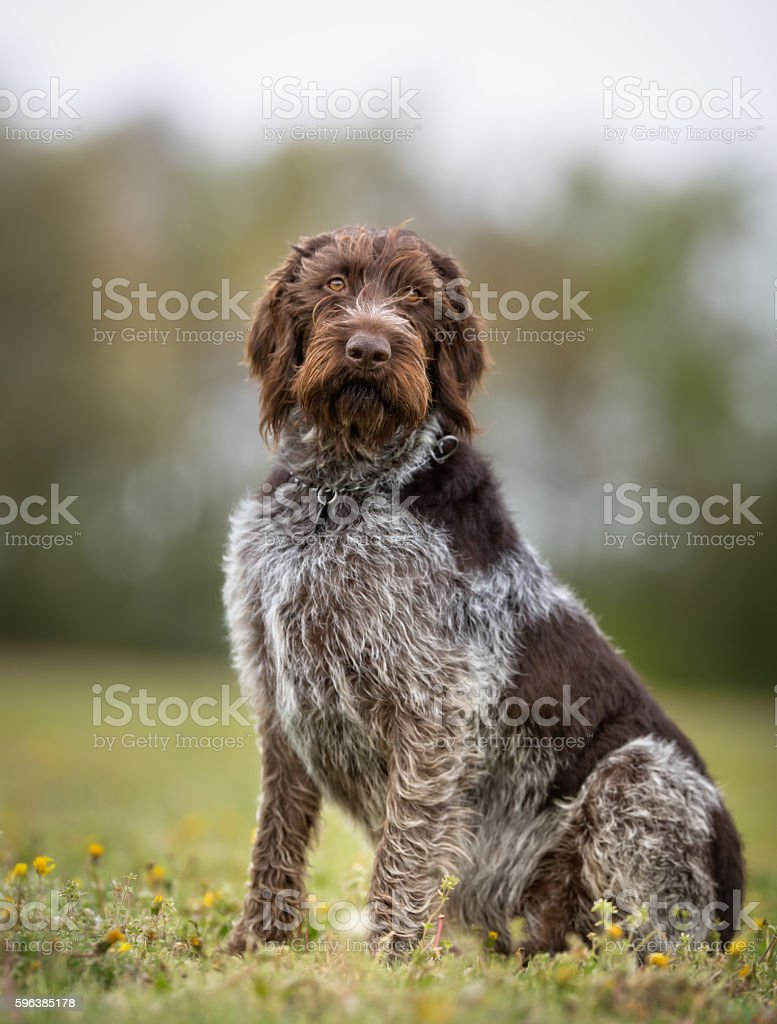 German Wirehaired Pointer Dog Outdoors In Nature Stock Photo & More ...