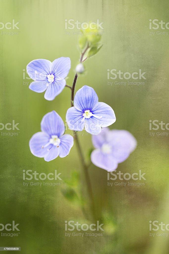 Germander Speedwell (Veronica chamaedrys) stock photo