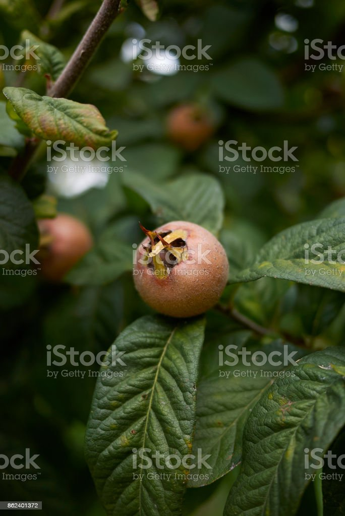 Mespilus germanica stock photo