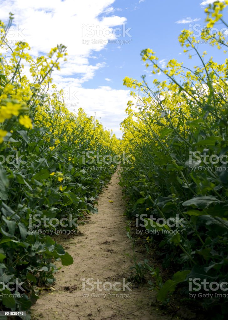 Germany: Closeup of a track in a yellow blooming rape field royalty-free stock photo