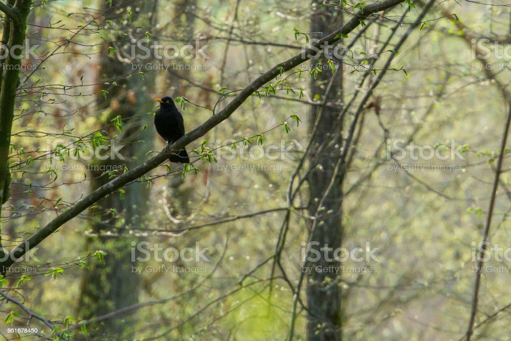 Germany, Common blackbird sitting on a tree in the sun in nature