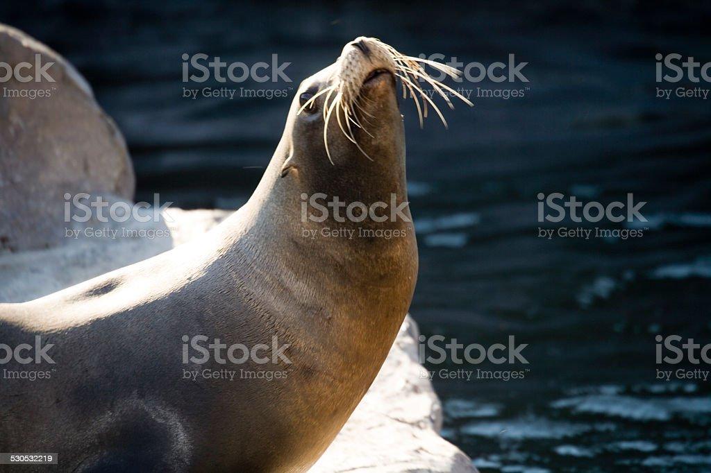 Germany, Gelsenkirchen, Zoom Erlebniswelt, Sea Lion stock photo
