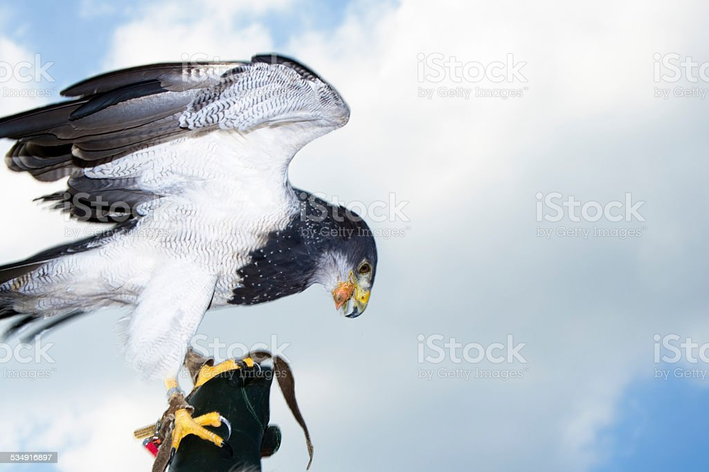 Germany, Hellenthal, Black-chested buzzard eagle stock photo