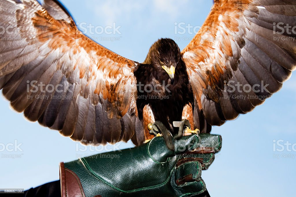 Germany, Hellenthal, Harris Hawk stock photo