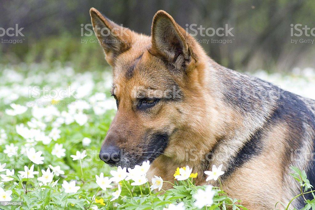 Deutschland Schaf-Hund Leg dich auf den Garten Lizenzfreies stock-foto