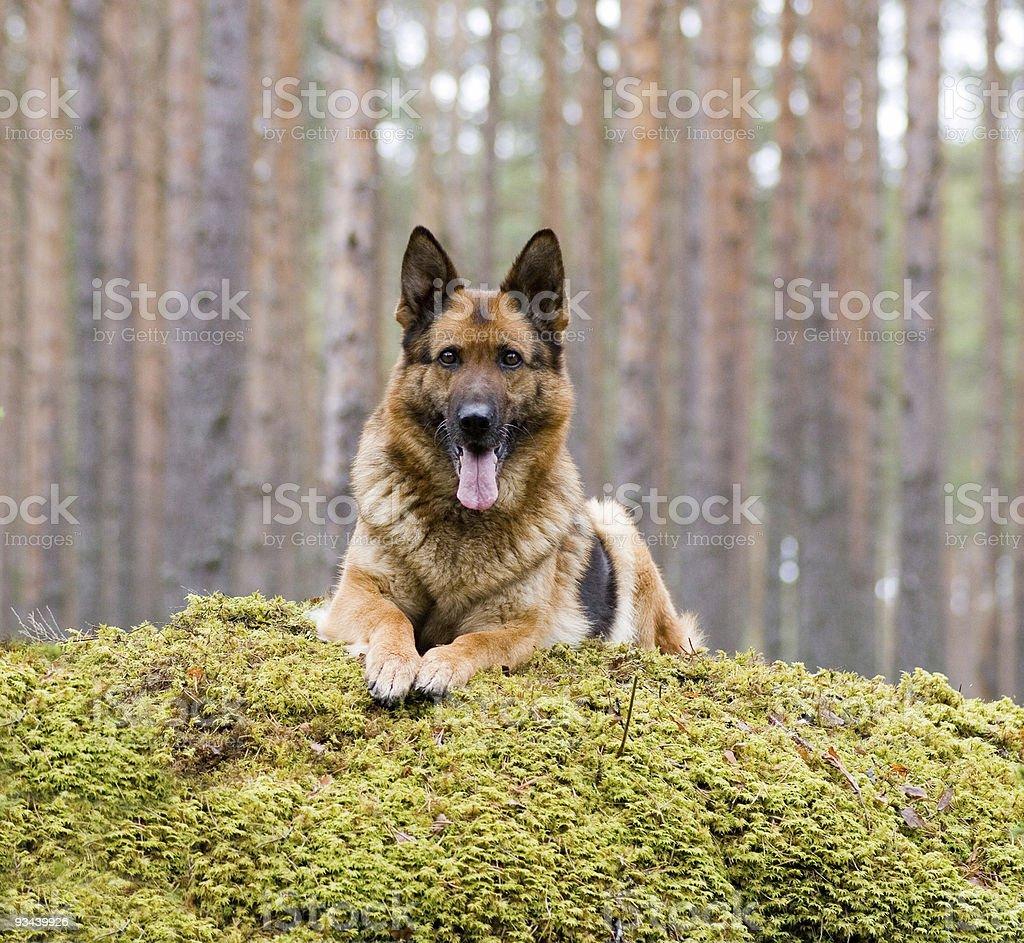 Deutschland Schaf-Hund Leg dich auf den stone Lizenzfreies stock-foto