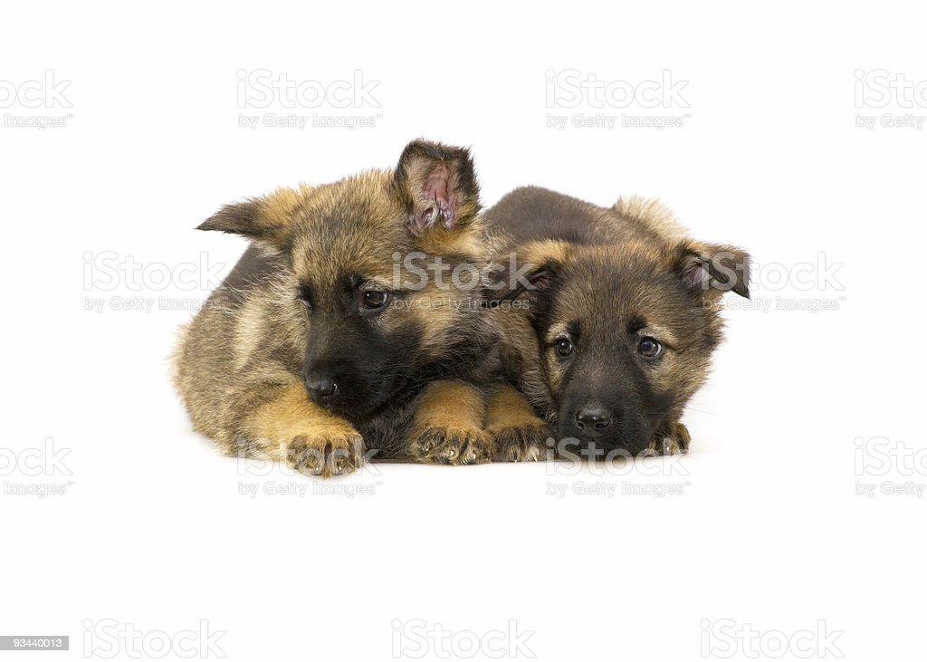 Deutschland Schaf-dog-Klößchen Lizenzfreies stock-foto