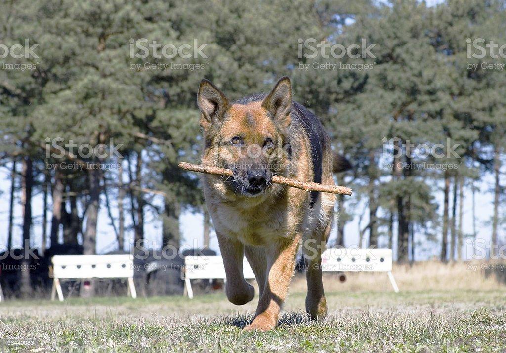 Deutschland Schaf-Hund läuft mit stick Lizenzfreies stock-foto