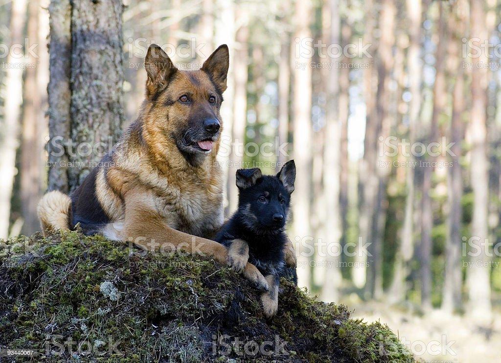 Deutschland Schaf-Hund mit Welpen Lizenzfreies stock-foto