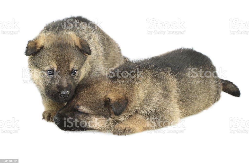 Deutschland Schaf-Hunde puppys Lizenzfreies stock-foto