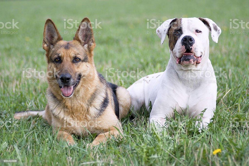 Deutsche Schäferhund und American bulldog Lizenzfreies stock-foto