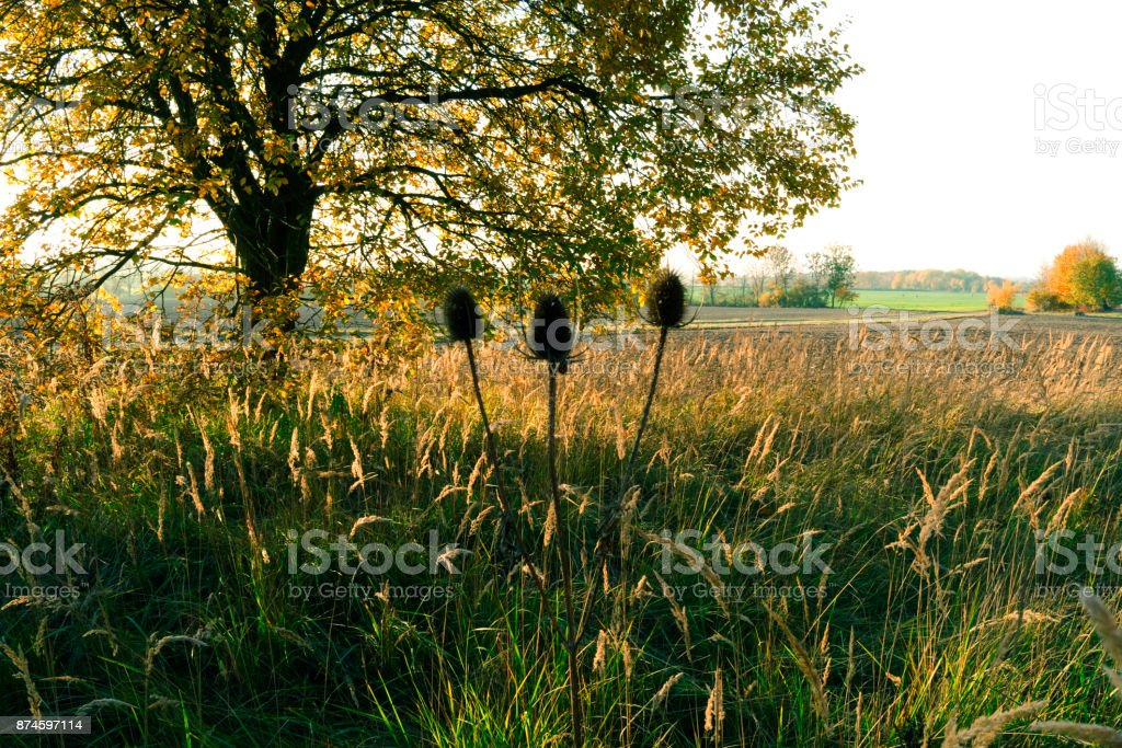 Germany: Three faded teasel heads in front of the autumnal idyll in Eastern Thuringia stock photo