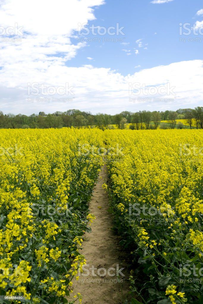 Germany: Track in a yellow blooming rape field royalty-free stock photo