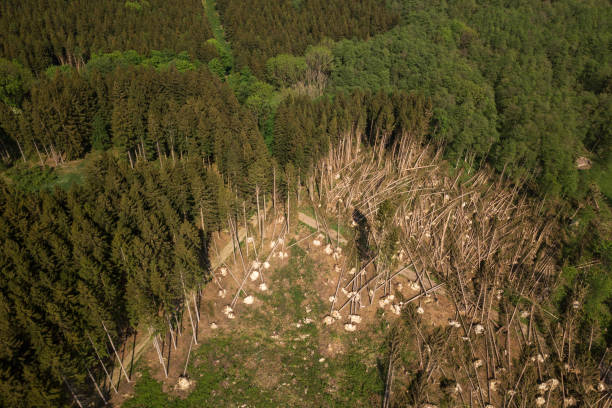 Uprooted trees after storm from above, Germany Germany: Uprooted trees of a coniferous forest lie after a storm like stalks on the ground, photographed from above. knocked down stock pictures, royalty-free photos & images