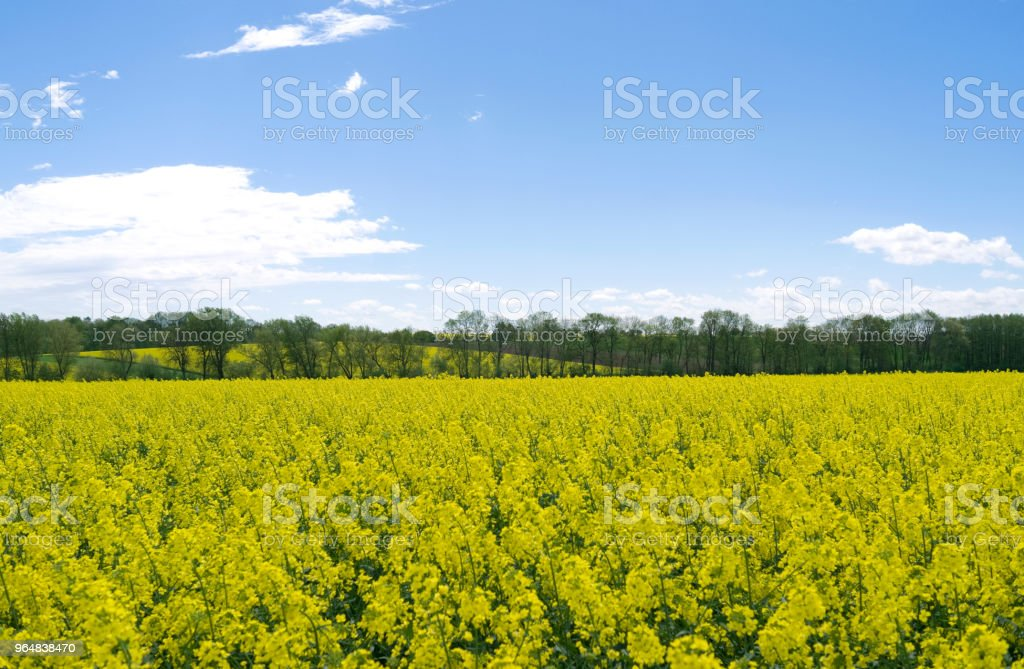 Germany: View over a yellow blooming rape field royalty-free stock photo