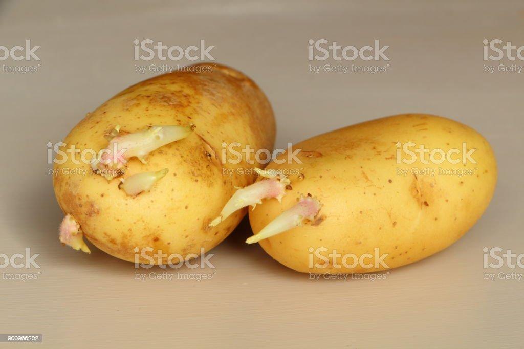 Germinated potatoes stock photo