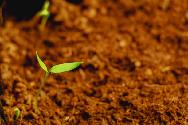 germinated seed sprout stock photo