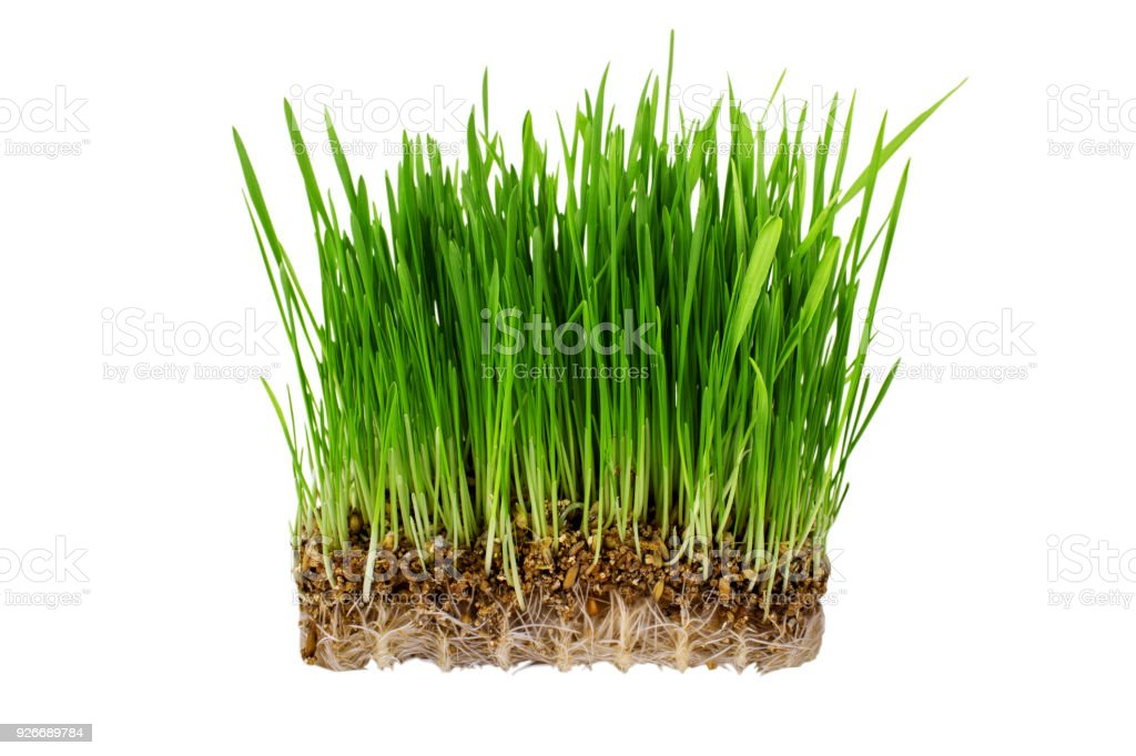Germinated seeds of oat, green grass isolated on white background stock photo
