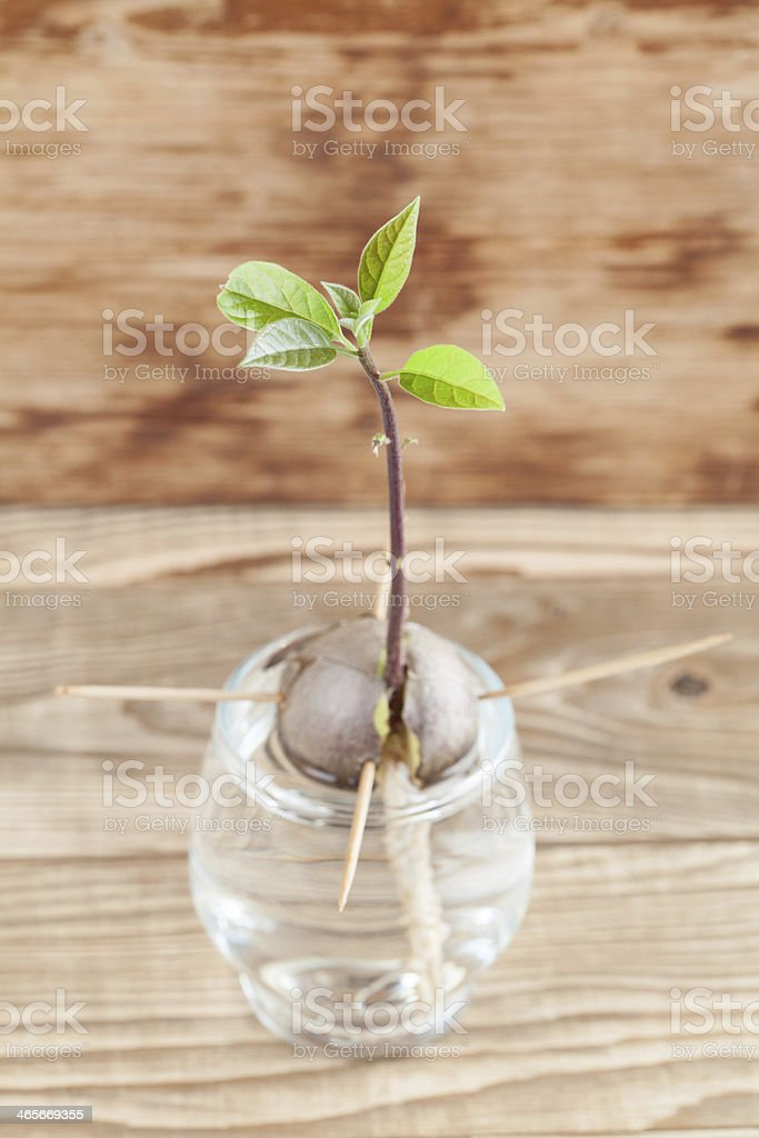 Germinating avocado - part 4 royalty-free stock photo