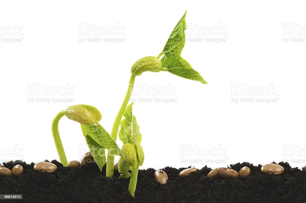 Germinating bean seed stock photo