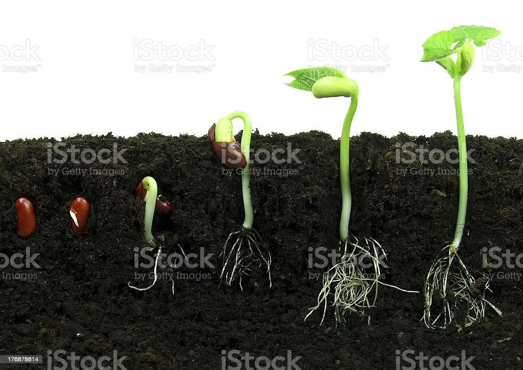 Germinating bean seeds stock photo