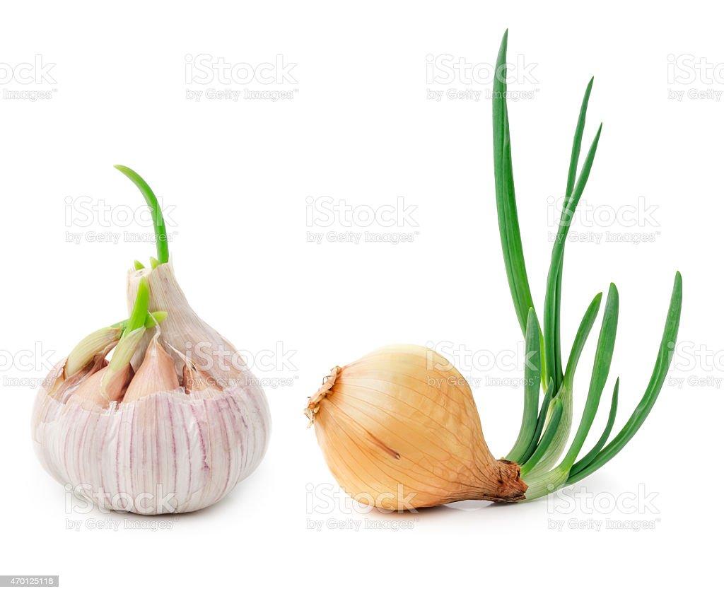 Germinating onion and garlic stock photo