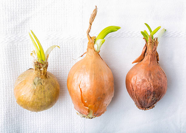 Germinating onion on white table stock photo