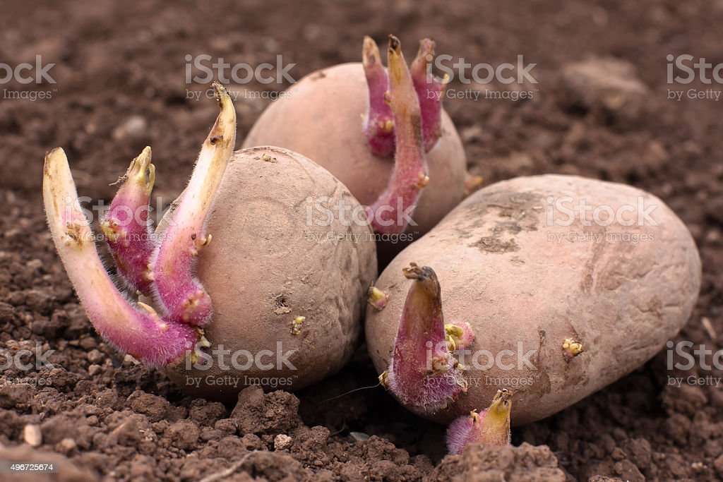 germinating potatoes on the ground stock photo