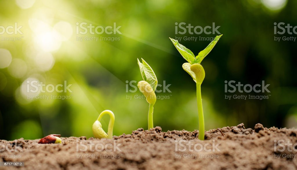 germinating seed to sprout of nut stock photo