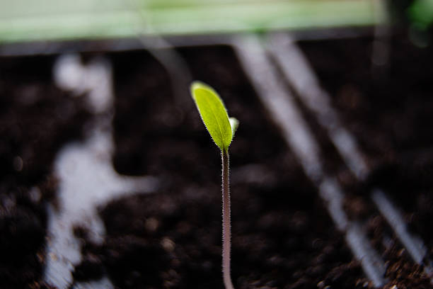 Germinating Tomato Seed