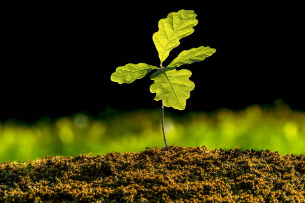 baum, einer kleinen eiche auf einem schwarzen hintergrund, isolierte pflanze keimen - eichenblatt stock-fotos und bilder