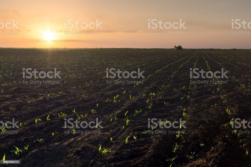 germination of corn photo stock photo