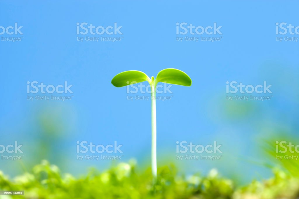 Germination of sunflower foto stock royalty-free