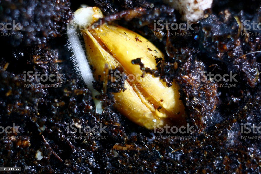 Germination seed -Wheat stock photo
